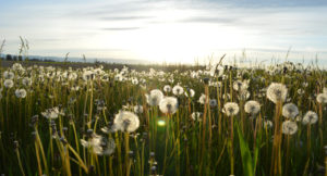 field of dandilions